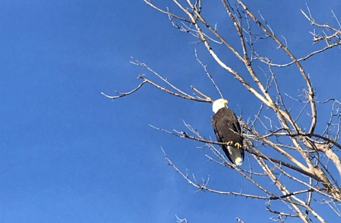 Bald Eagle at Loess Bluffs Refuge