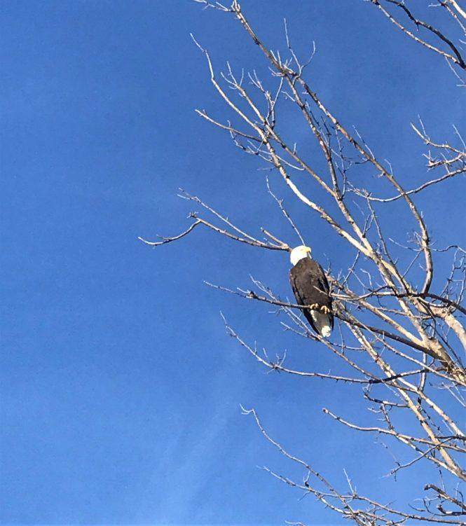 Bald Eagle at Loess Bluffs Refuge