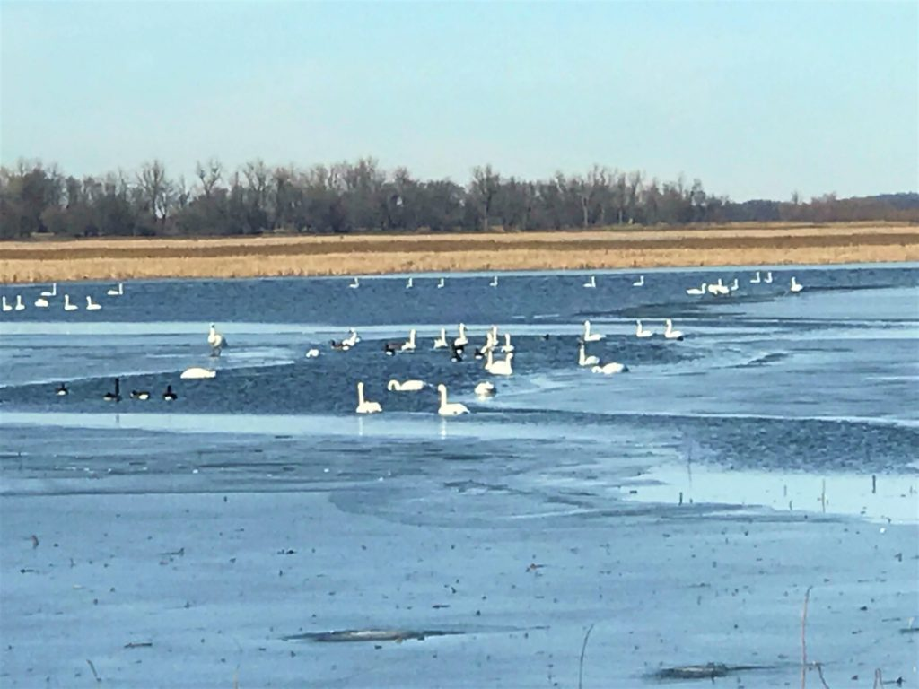 Geese at Loess Bluffs Refuge