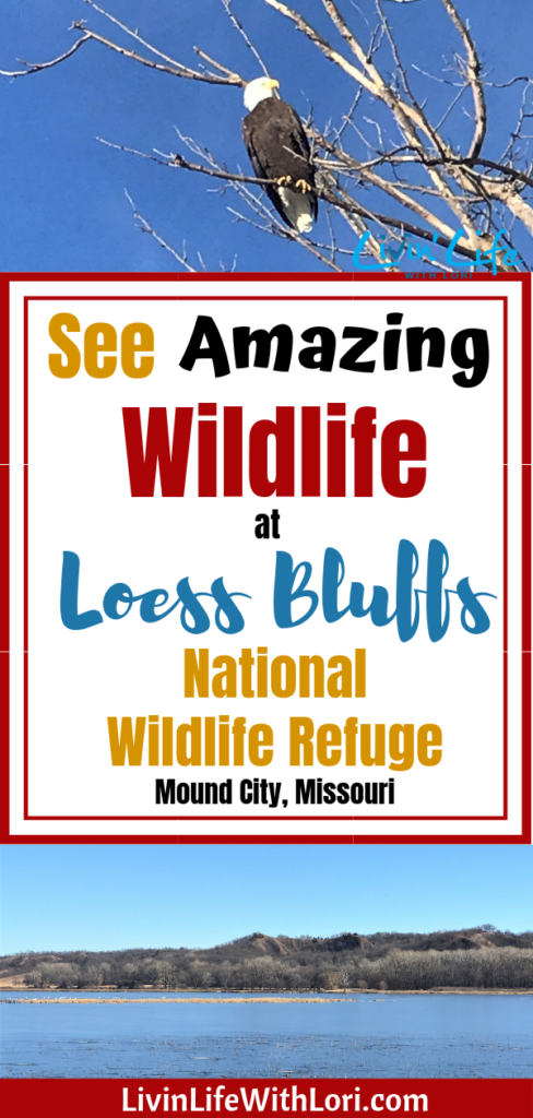 See Amazing Wildlife at Loess Bluffs National Wildlife Refuge! #Loessbluffs #squawcreek #travel #traveldestination #