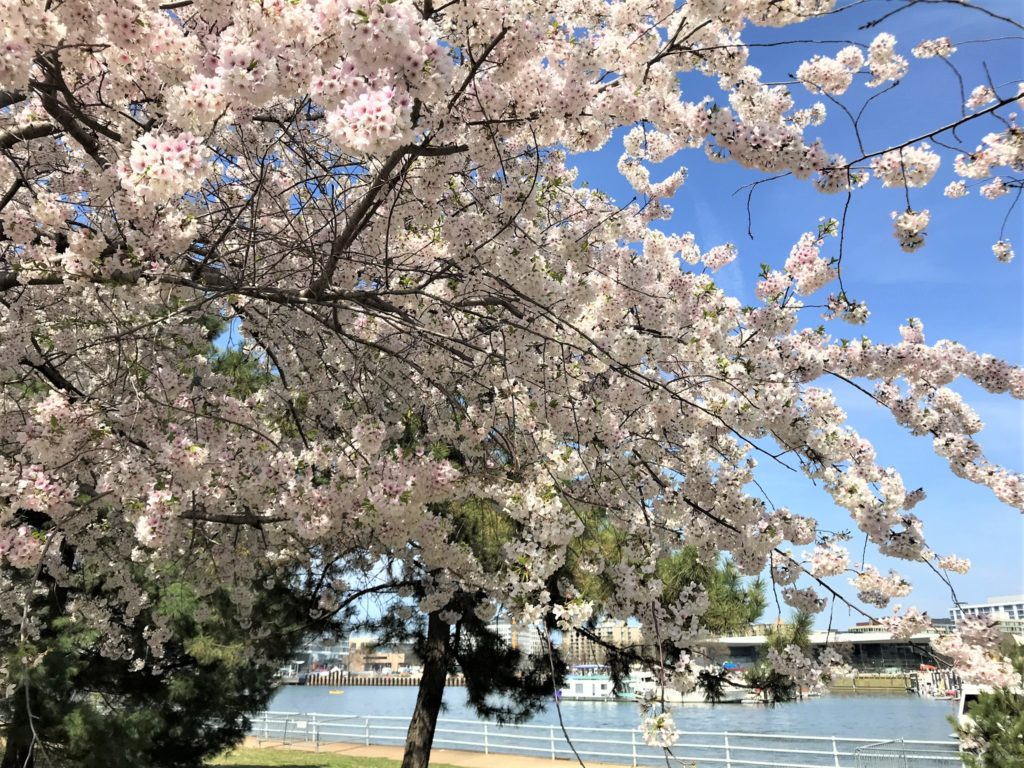 Through the Cherry Blossom Trees
