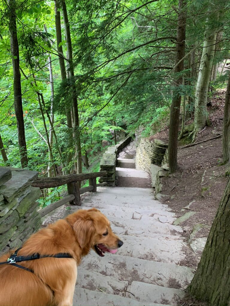 golden retriever starting down steps to Lower Falls