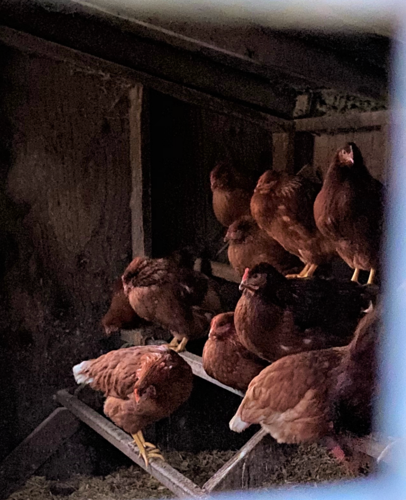 Chickens in the Chicken Coop at Bluemont General Store